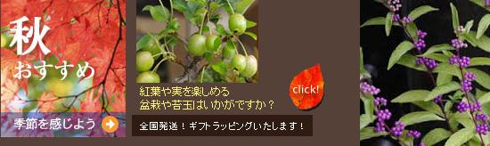 紅葉や実なり 秋を満喫できる苔玉や盆栽