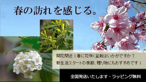 春に花咲く盆栽・苔玉