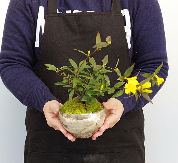 カロライナジャスミン盆栽