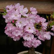 桜 季節の移り変わり
