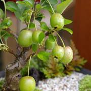 姫リンゴの移り変わり