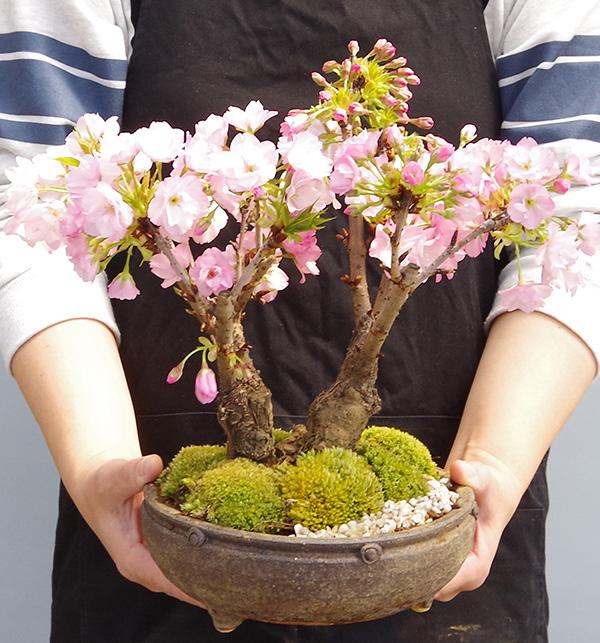 旭山桜盆栽二本植え