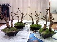セブンカルチャー 盆栽教室