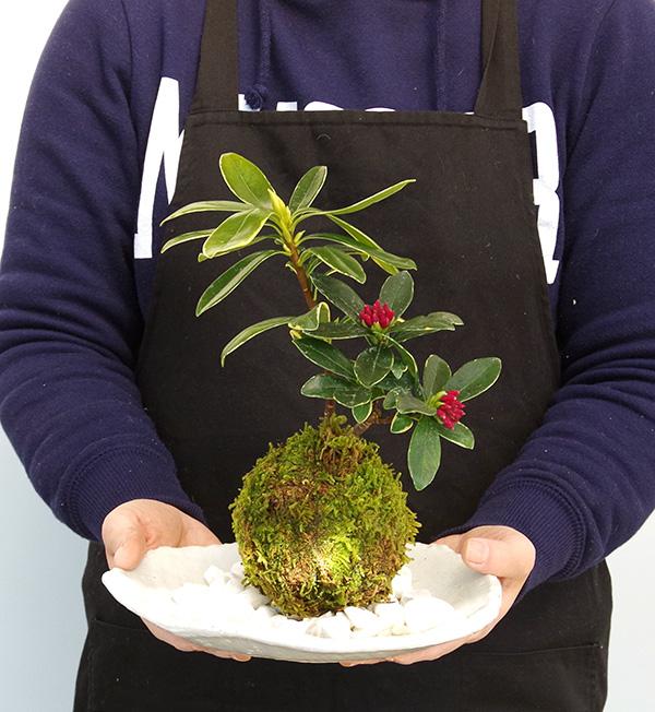 沈丁花の苔玉