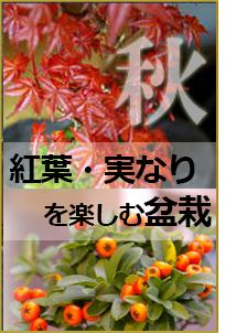 秋におすすめの盆栽