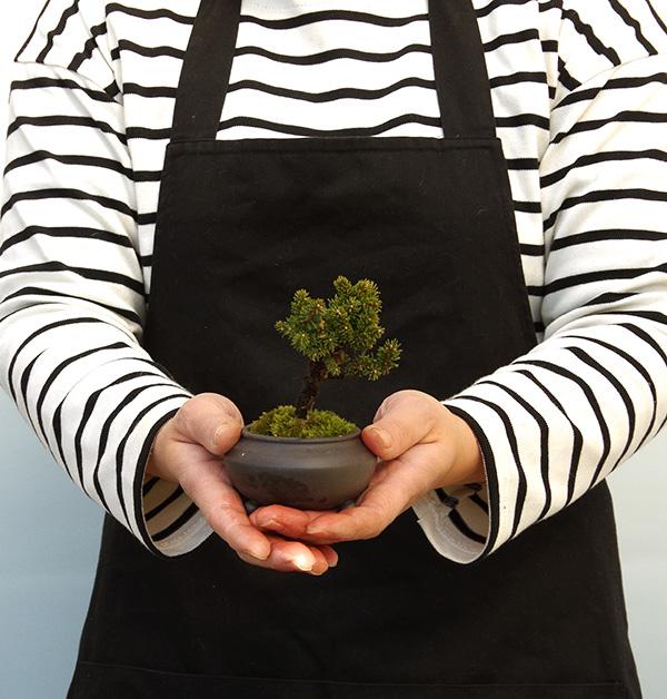エゾマツの盆栽