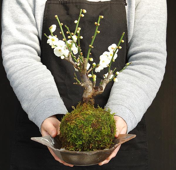 白梅の苔玉