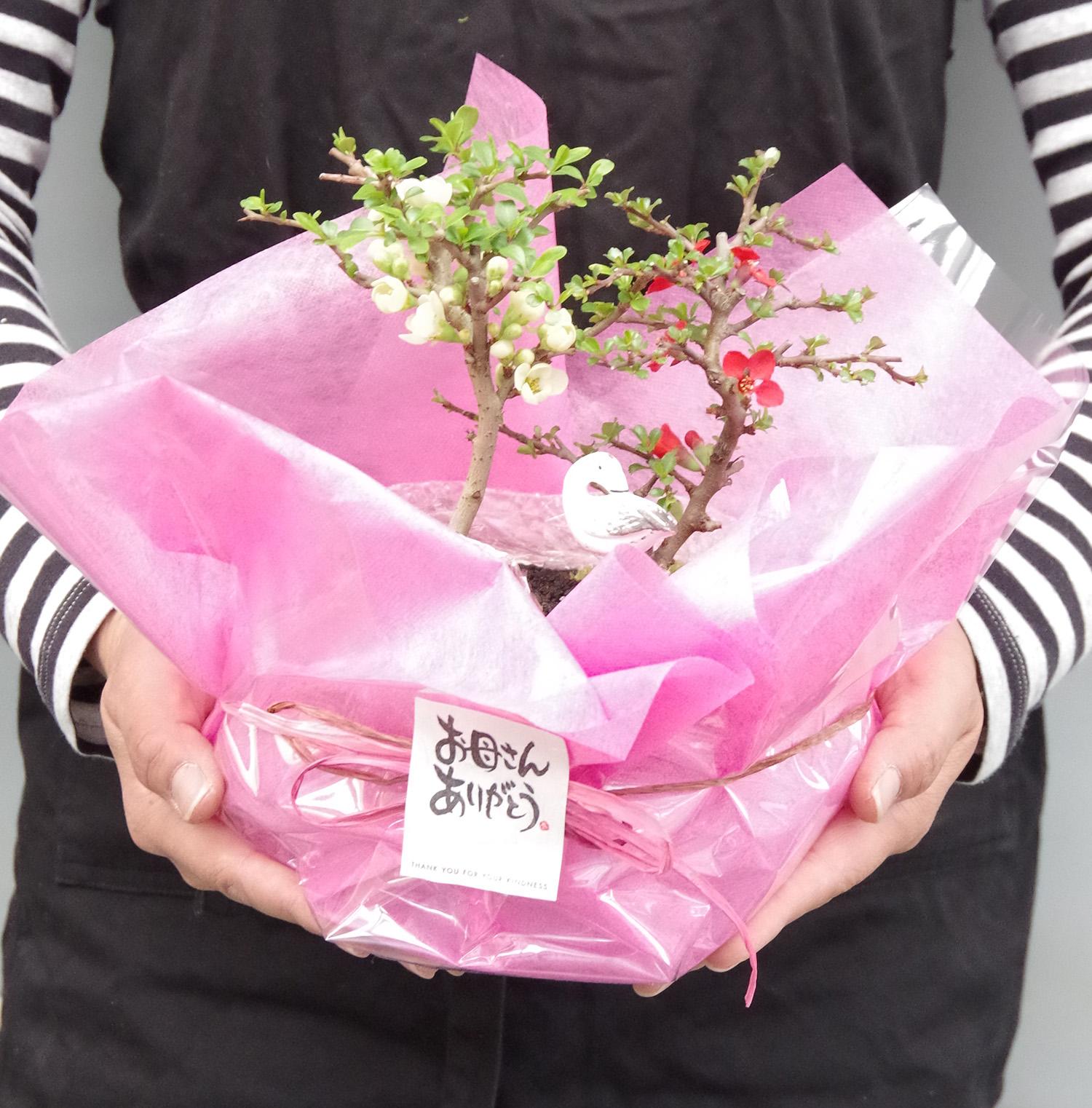 紅白長寿梅盆栽