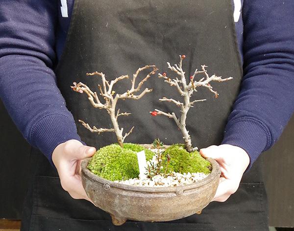 紅白長寿梅の盆栽
