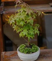 紅葉 盆栽
