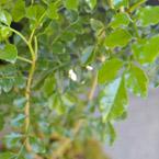 シマトネリコ 葉