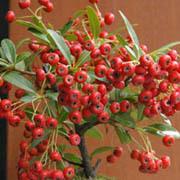 ピラカンサ季節の変化