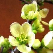 長寿梅の移り変わり