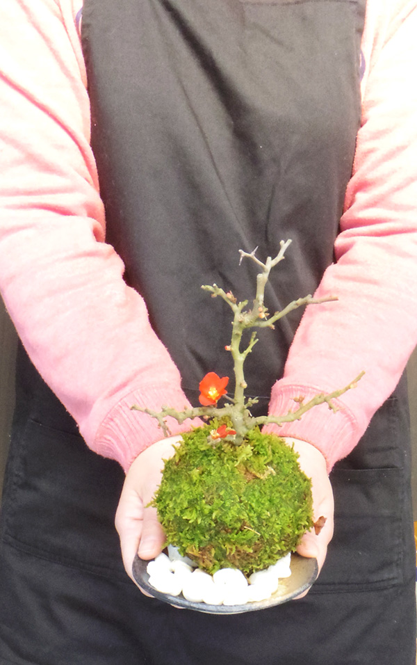 長寿梅の苔玉