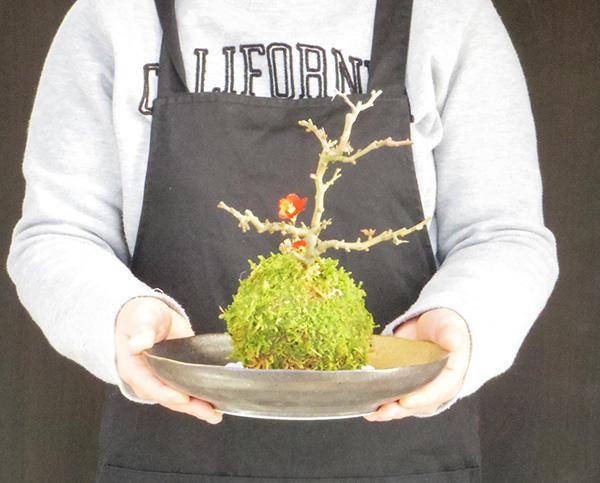 紅梅の苔玉