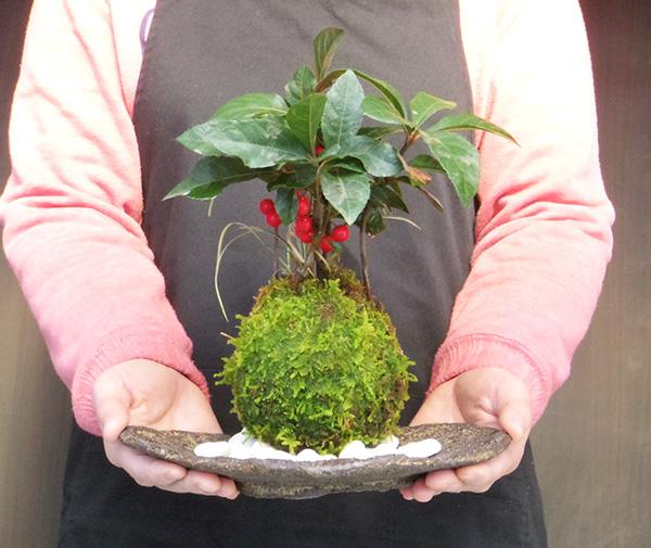 ヤブコウジの苔玉